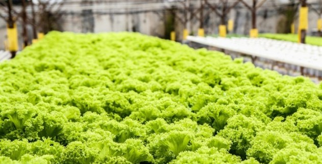 contoh tanaman hidroponik Selada